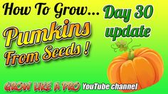 Growing Pumpkins From Seeds Day 30 Update ! Pumpkin Plants, Planting Pumpkins, Garden Ideas, Seeds, Channel, Gardening, Watch, Day, Youtube