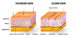 Cross-sectional diagram. Younger Skin and Older Skin