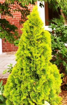 thuja occidentalis janed gold - Google Search