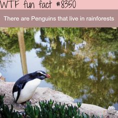 Penguins living in rainforests - WTF fun facts
