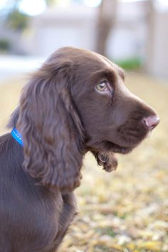 Chocolate Cocker I want this puppy!