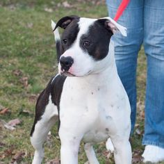 ADOPTED!!! ●TO BE DESTROYED 6•30•16●Rescue Pandy! Pandy is about 10 or 11 months old. Very sweet and playful and full of energy. He will be a great member of an active family. Has shown NO aggression. Playful pup Staffordshire Bull Terrier Breeders, Like Animals, Helping The Homeless, Family Dogs, Rescue Dogs, Cute Pictures, Panda, Dog Cat, Adoption