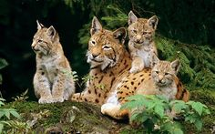 Wild lynx to be brought back to British countryside - Telegraph