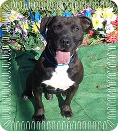 Marietta, GA - Pit Bull Terrier Mix. Meet BONES, a dog for adoption. http://www.adoptapet.com/pet/12756597-marietta-georgia-pit-bull-terrier-mix