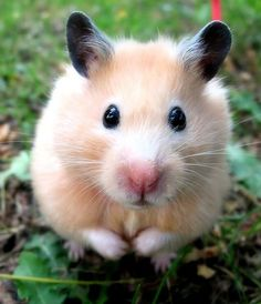 Watch out! This is one dangerously cute hamster.