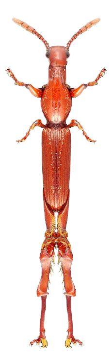 Ciphagogus sp.