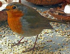 Google Afbeeldingen resultaat voor http://www.natuur-wereld.be/media/foto/vogels/roodborstje.jpg