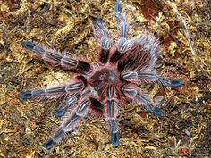 Chilean Rose Hair Tarantula - Grammostola rosea - This terrestrial tarantula belongs to the family Theraphosidae and many specimens in the wild have been noted to burrow. It is at home in desert and scrub regions of Northern Chile, Bolivia and Argentina