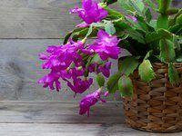 Pěstitelské tajemství kvetoucího vánočního kaktusu