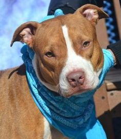 4/7****TOTALLY HEARTBREAKING!! RETURNED 4/5/16 PET CONFLICT SAFE 3/25/16 RETURNED 02/11/16 STRAY --- SAFE 11-11-2015 --- Staten Island Center SPRING – A1056850 FEMALE, TAN / WHITE, PIT BULL MIX, 2 yrs STRAY – STRAY WAIT, NO HOLD Reason STRAY Intake condition EXAM REQ Intake Date 11/03/2015 http://nycdogs.urgentpodr.org/spring-a1056850/