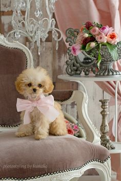 poodle so adorable! Baby Animals, Funny Animals, Cute Animals, I Love Dogs, Puppy Love, Cute Puppies, Dogs And Puppies, Pet Dogs, Dog Cat