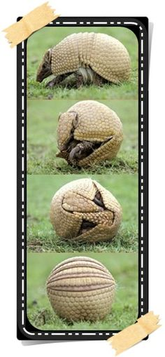 Witty Nity: Armadillos....The Little Armoured Animals