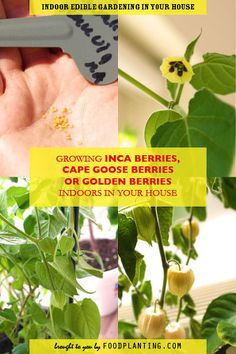 GROWING INCA BERRIES, CAPE GOOSE BERRIES OR GOLDEN BERRIES INDOORS IN YOUR HOUSE Inca berries, golden berries or cape goose berries are great houseplants, that you can harvest year after year. We give you the steps on how to grow these plants. Cape Gooseberry, Houseplants, Harvest, Berries, Herbs, Gardening, Canning, Lawn And Garden, Indoor House Plants
