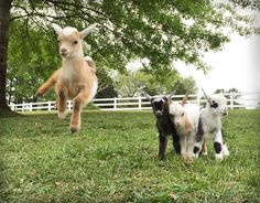 CONGRATULATIONS to George the Goat from Montevallo, Alabama, crowned Best in Show in our Purina Days Checkerboard Challenge Photo Contest! Tiny Goat, Animal Pictures, Cute Pictures, Goat Toys, Happy Goat, Nigerian Dwarf Goats, Raising Goats, Cute Goats, Mini Farm