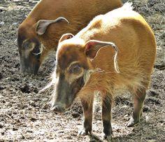 Pinselohrschweine