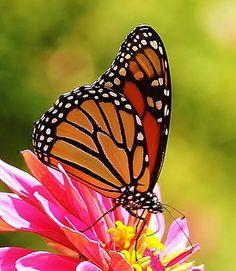 Monarch Butterfly tattoo idea...