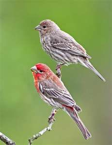 House finch...the red one is the male and the plain one is the female; love the feeders