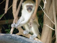Monkey @ Tsavo East National Park