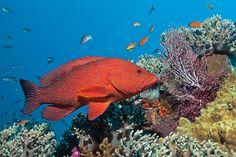 coral #grouper  #Fiji . Daniela Dirscherl