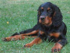 Races de chiens: Setter Gordon - Frawsy