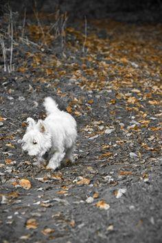 I am Crumpet 6 West Highland terrier Westie Dog by shortwork