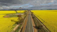 Fields of golden canola stretch as far as the eye can see in Borden, Western Australia.