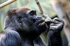 Tadao, la gorille du zoo de Prague se régale des délices de noël.