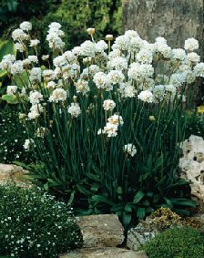 "Armeria ""Joystick White"" blooms nearly all summer"