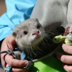 Watch as Haku, a white River Otter, takes a stroll at Tokyo's Sunshine City Aquarium, serving as an excellent ambassador for her species and enchanting guests. Otters Cute, Baby Otters, Baby Sloth, River Otter, Sea Otter, Cute Baby Animals, Funny Animals, Small Animals, Significant Otter