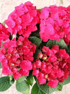 Hydrangea (Hortensias) de color fuchia, planta de temporada, para el jardín.
