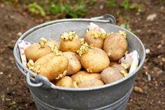 Проращивание и обработка картофеля перед посадкой   Антонов Сад   Яндекс Дзен