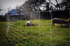 Electronet, portable pasture pig fence
