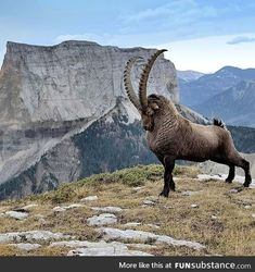 Viril ibex in front of Mont Aiguille (French Alps) during the rutting season. Photo by ©Jean-Michel Pouy Viril ibex in front of Mont Aiguille (French Alps) during the rutting season. Photo by ©Jean-Michel Pouy Majestic Animals, Rare Animals, Animals And Pets, Funny Animals, Small Animals, Beautiful Creatures, Animals Beautiful, Tier Fotos, Animals Of The World