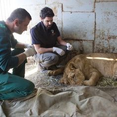 Discover how WVS and Foundation for the Preservation of Wildlife and Cultural Assets are working together in Armenia to create a sanctuary to enable us to protect injured and abused wildlife. #WorldWildlifeDay  http://ift.tt/2mOYpO7 #worldwildlifeday #wildlife #wildlifephotography #lions #lion #rescue #charity #charities #fpwc #lionrescue #wildliferescue #wildliferescuecentre #armenian #armenia #animal #animals #animalovers #animalsofinstagram #animaloftheday #cat #catsofinstagram #cats…