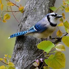 Todd Hostetter's photo of a striking Blue Jay. Love Birds, Beautiful Birds, Animals And Pets, Funny Animals, Blue Jay Bird, Bird Species, Bird Watching, Wildlife, Wings