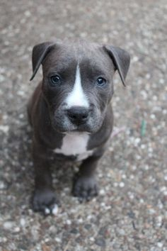 Uplifting So You Want A American Pit Bull Terrier Ideas. Fabulous So You Want A American Pit Bull Terrier Ideas. Pitbull Terrier, Amstaff Terrier, Bull Terriers, Terrier Dogs, Blue Nose Pitbull Puppies, Pit Puppies, Blue Staffy Puppy, Blue Pitbull, Dogs Pitbull