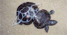 像海龜這樣的海洋生物,本應該是在美麗的海底世界優游自得,然而卻因為人類的自私,大量的垃圾污染生態,使得這些海洋生物的家受到破壞,甚至是無辜的死去。