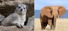 The elephant's closest relative is the rock hyrax   12 facts to change the way you see elephants   MNN - Mother Nature Network