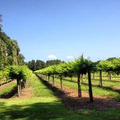 Manicured Vineyard:-)