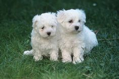 Clever, soft, and cuddly, it is no wonder why Maltese puppies are becoming more and more popular as pets. Thinking about adding a Maltese puppy to your family? Here are a few things to know about puppies of this breed. Cute Puppy Breeds, Cute Puppies, Dogs And Puppies, Cute Dogs, Doggies, Dog Breeds, Maltese Poodle, Maltese Dogs, Teacup Maltese