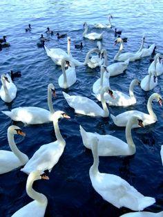 白鳥の湖 / Swan Lake **from Zurich, Switzerland**
