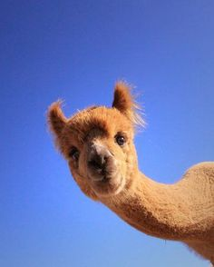 cute animals Few animals have the power to make us smile quite like alpacas. There's just something about these cute animals that's difficult not to like. Cute Funny Animals, Cute Baby Animals, Animals And Pets, Happy Animals, Wild Animals, Alpacas, Lama Animal, Cute Alpaca, Alpaca Funny