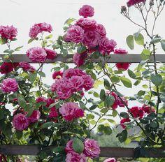 Hier gibt's ein paar einfache Tipps & Tricks, wie die Kletterrose zum Herzstück deines Gartens wird.