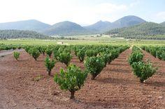 Vineyard in Bullas Spain (pineado por @OrgulloWine) #BeTrue