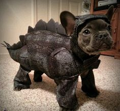 French Bulldog Costume, Cute French Bulldog, French Bulldog Puppies, Cute Dogs And Puppies, French Bulldog Halloween Costumes, Doggies, Teacup French Bulldogs, French Bulldog Clothes, English Bulldogs