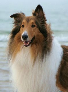 Buddy, Our Rough Collie by sylvia1sam, via Flickr
