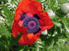 nice Oriental poppy flower Pretty Pictures