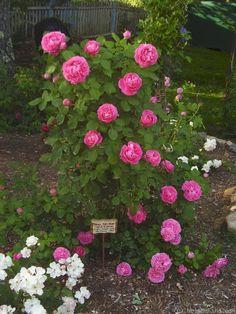 'Paul Neyron ' Rose Photo