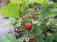 alpine strawberries - Google Search