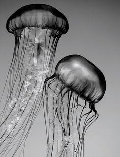 Jellyfish Art, Black and White Nature Photography, Animal, Underwater
